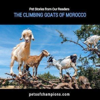 Climbing Goats of Morocco